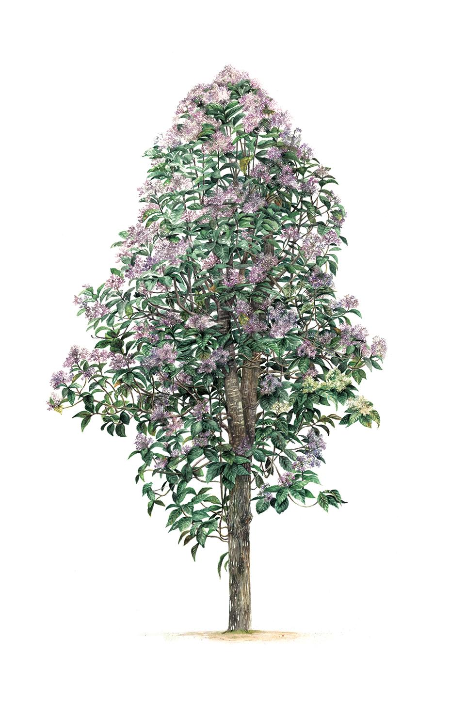 A Vernonia arborea tree