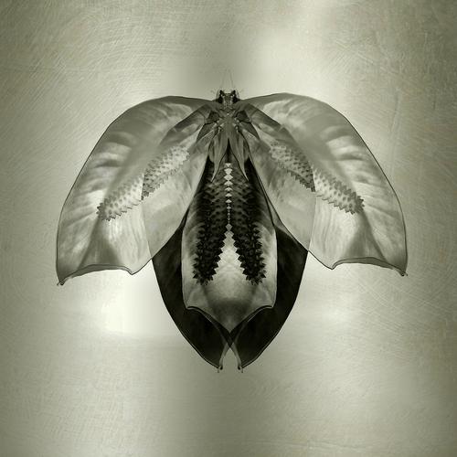 moth+|+lily+petals+5+x+5.jpg