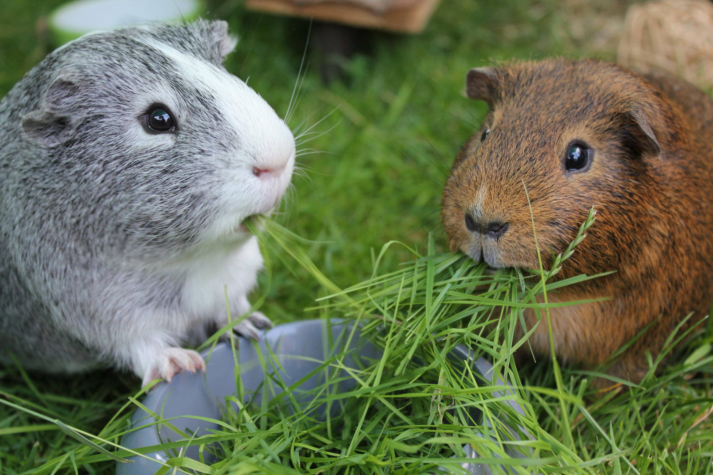 Neptune and Nutmeg at home -the original HayPigs!® (eating grass...!)
