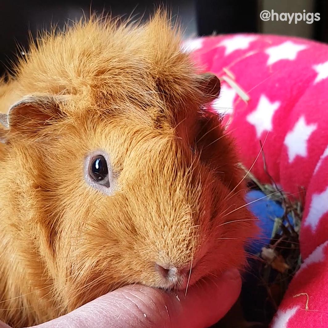 HayPigs_Crunchie_Guinea_Pig_018.jpg
