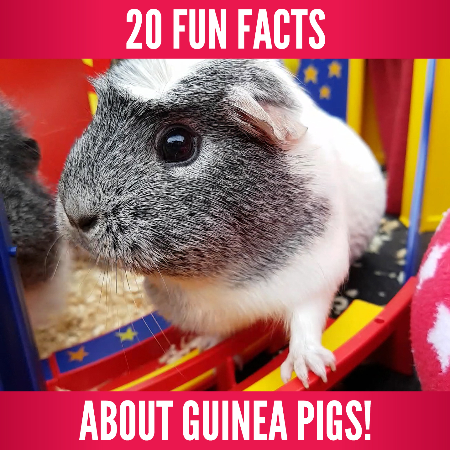 20 Fun Facts About Guinea Pigs.jpg