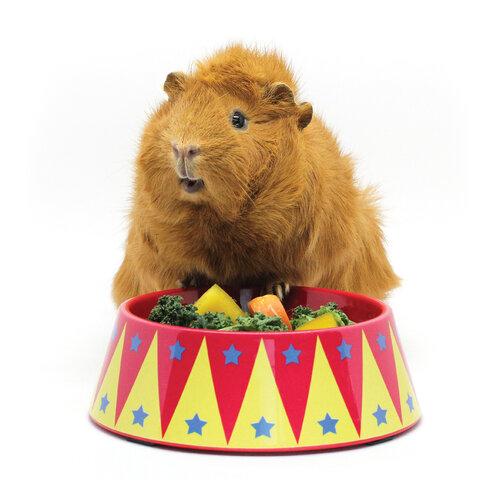 HayPigs!®   Guinea Pig Circus — How long do guinea pigs live?