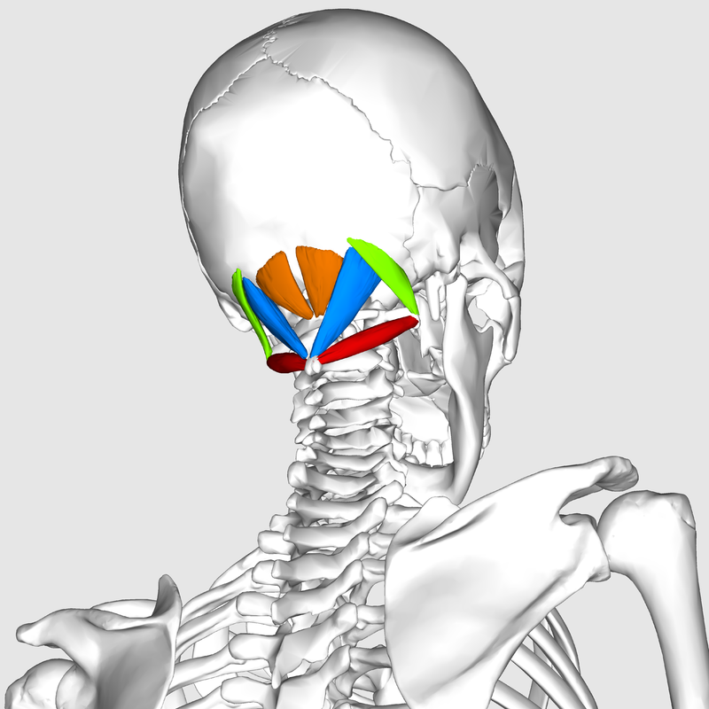 800px-Suboccipital_muscles06.jpg