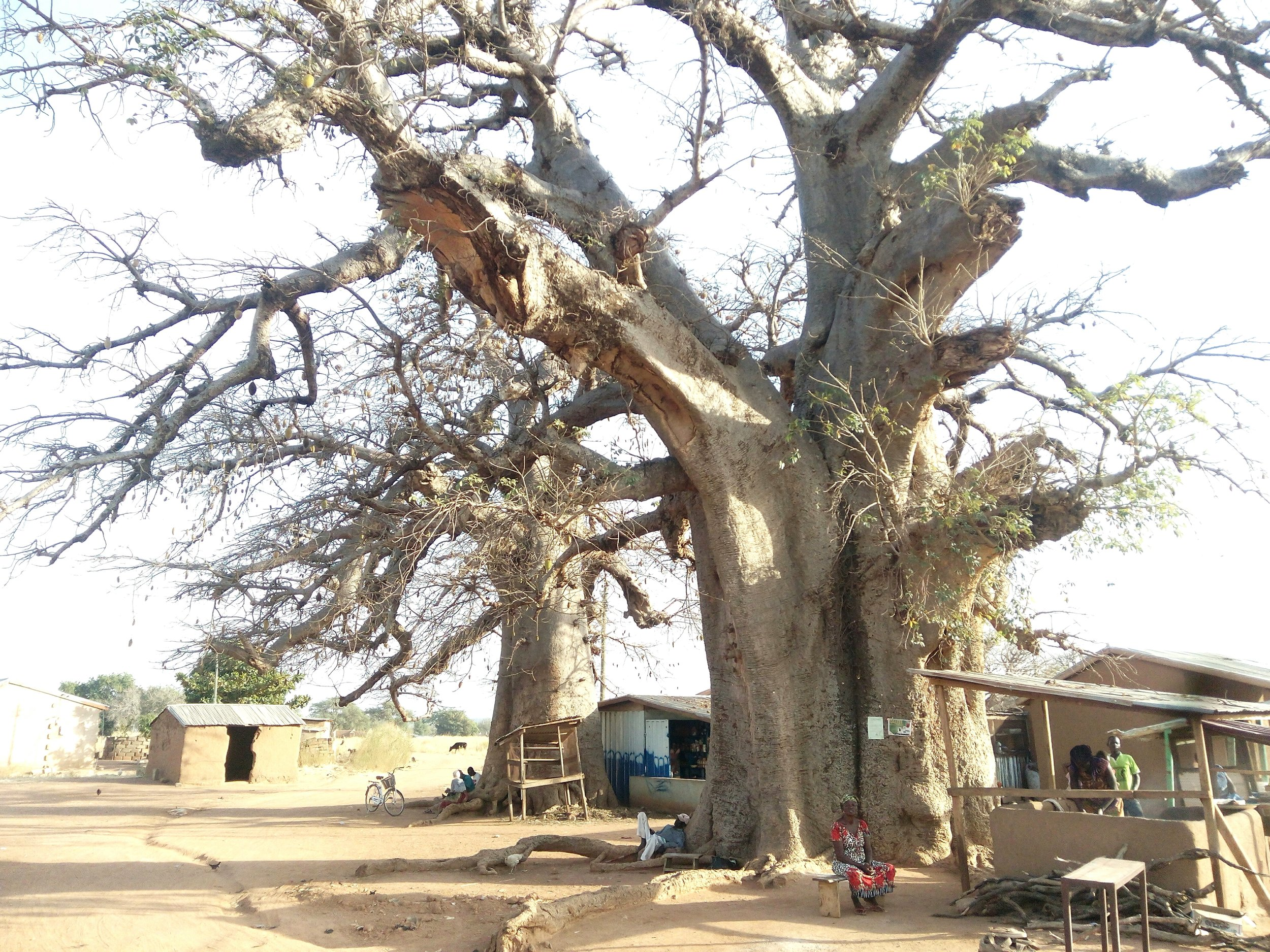 A community market under the shade of 2 sprawling baobabs.