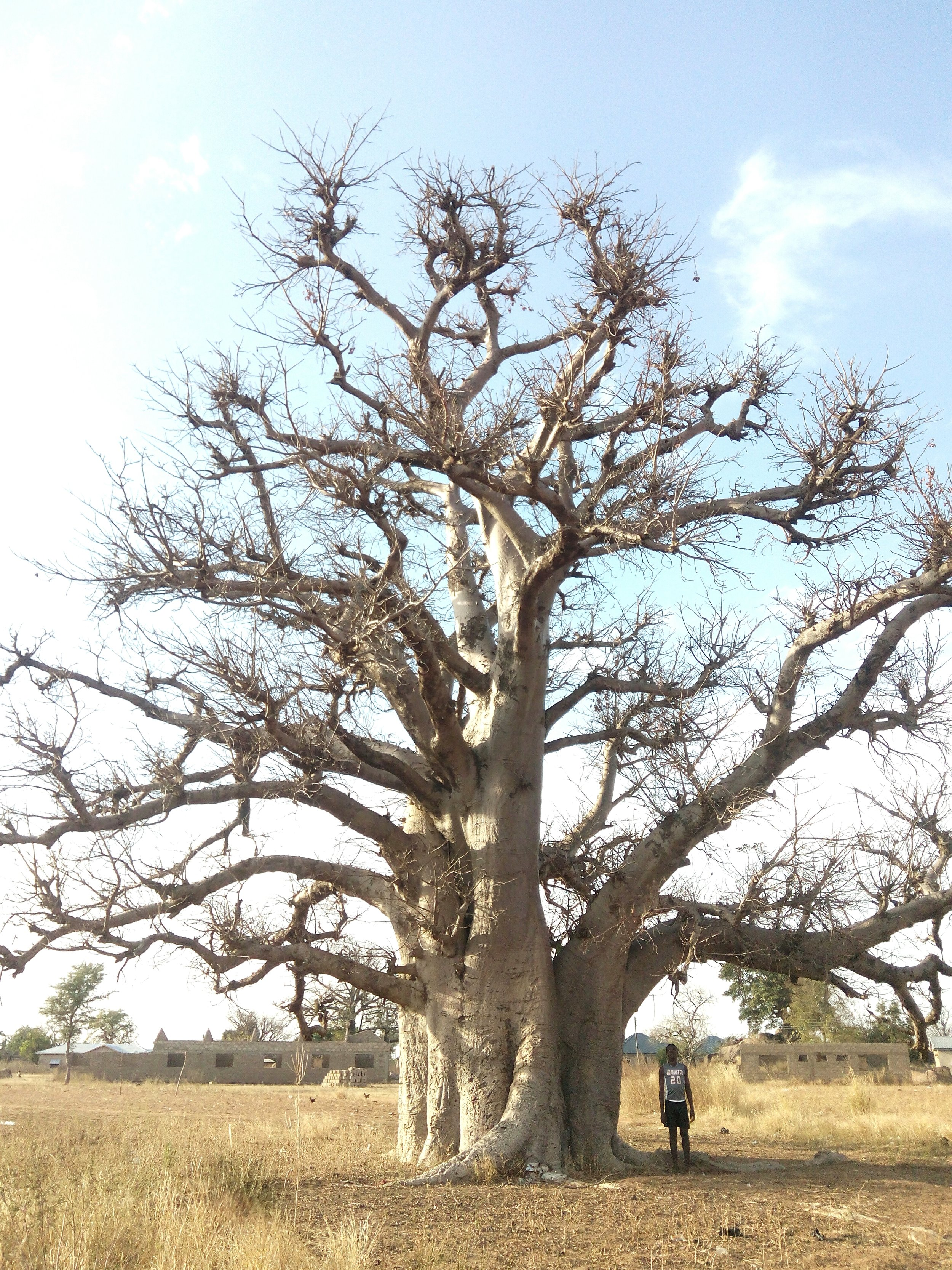 """A young Farefare man, roughly 5'8"""", stands next to a baobab tree. The tree loses its leaves in the dry season."""
