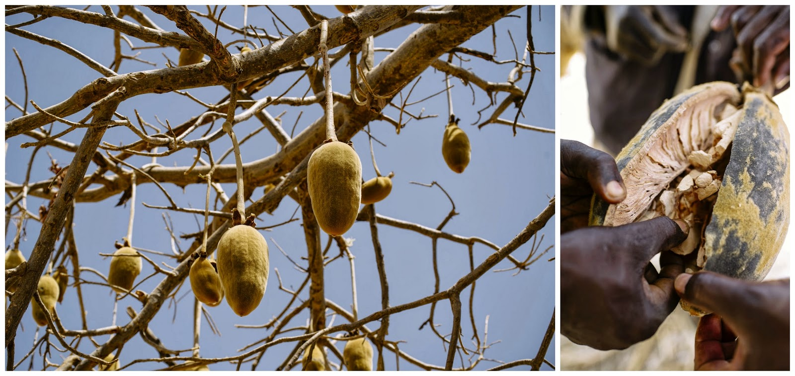 Baobab fruit seen hanging from the tree and opened.