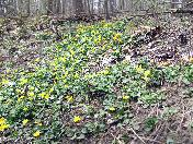 176_Bank_of_Yellow_flowers.JPG