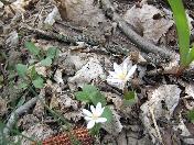 176_White_flowers,_corn_cob.JPG