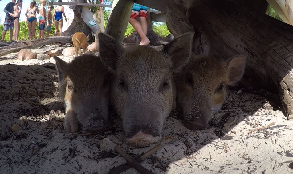 No Name Cay Piglets