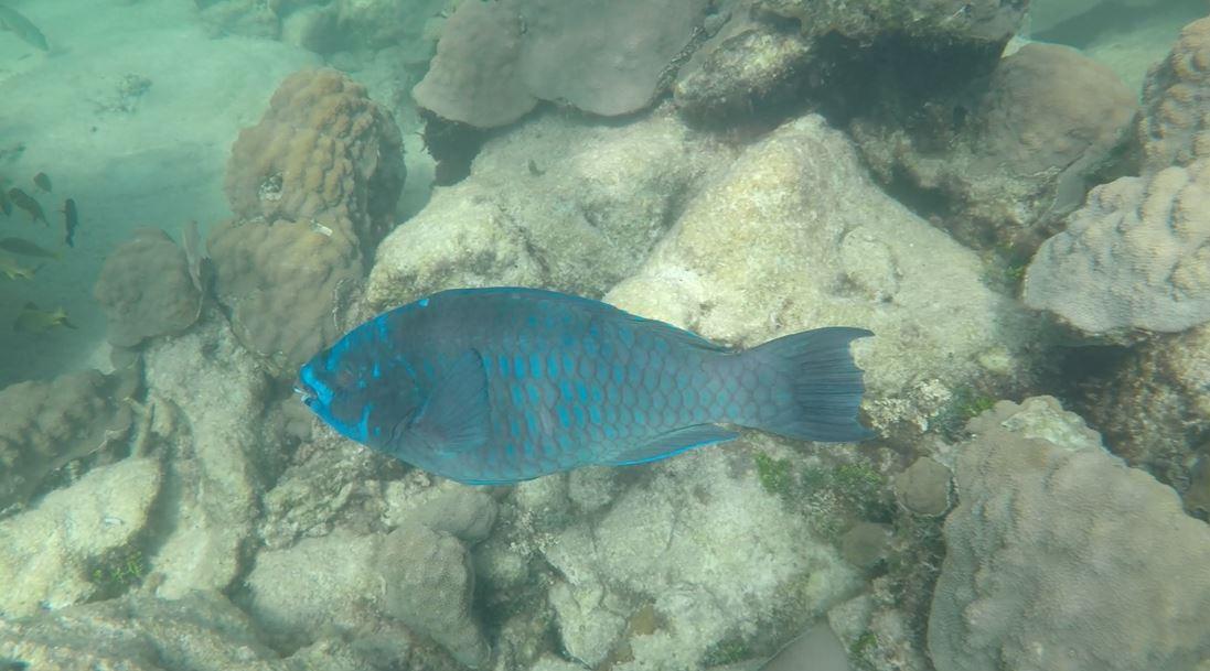 Mermaid Reef Parrot Fish