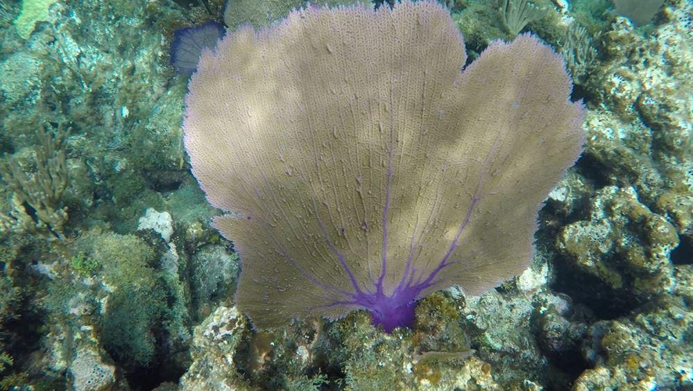 Reef Stop Sea Fan