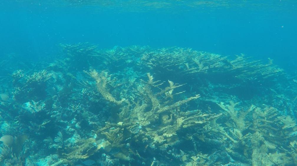 Reef Stop Elk Horn Coral