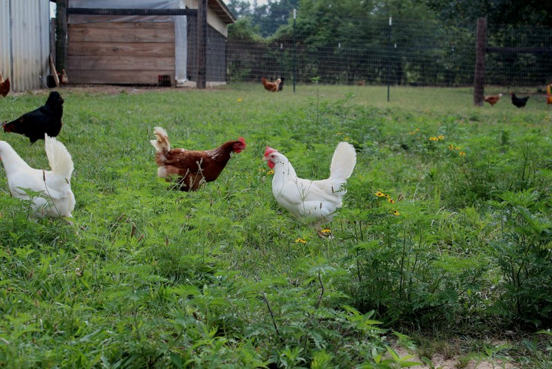 Morning Glory Chickens in field.jpg