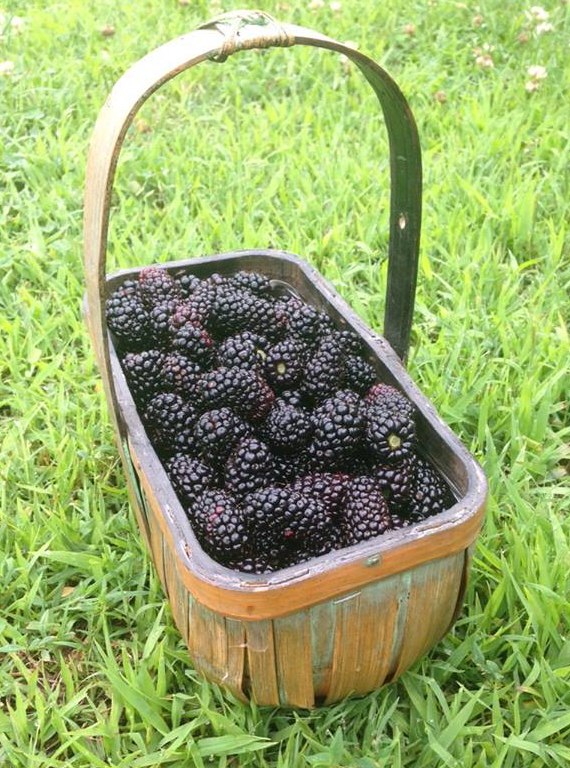 Morning glory blackberries in basket on farm.jpg