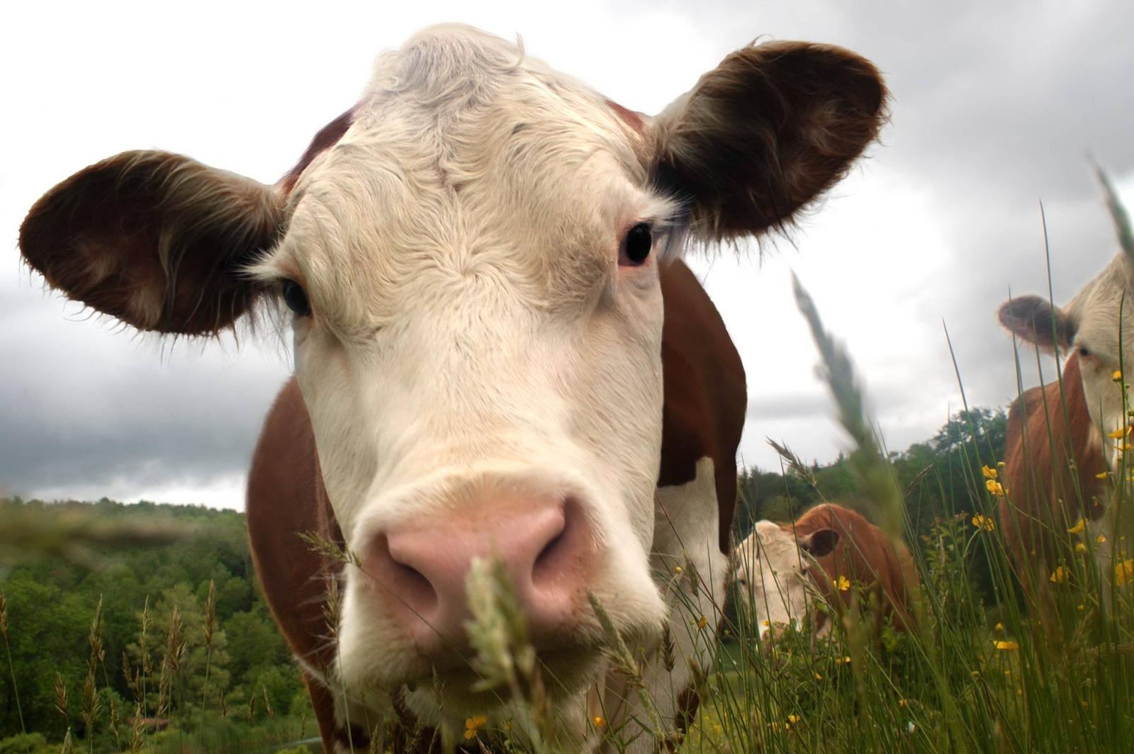 bigstockphoto_perspective_cows_779256.jpg