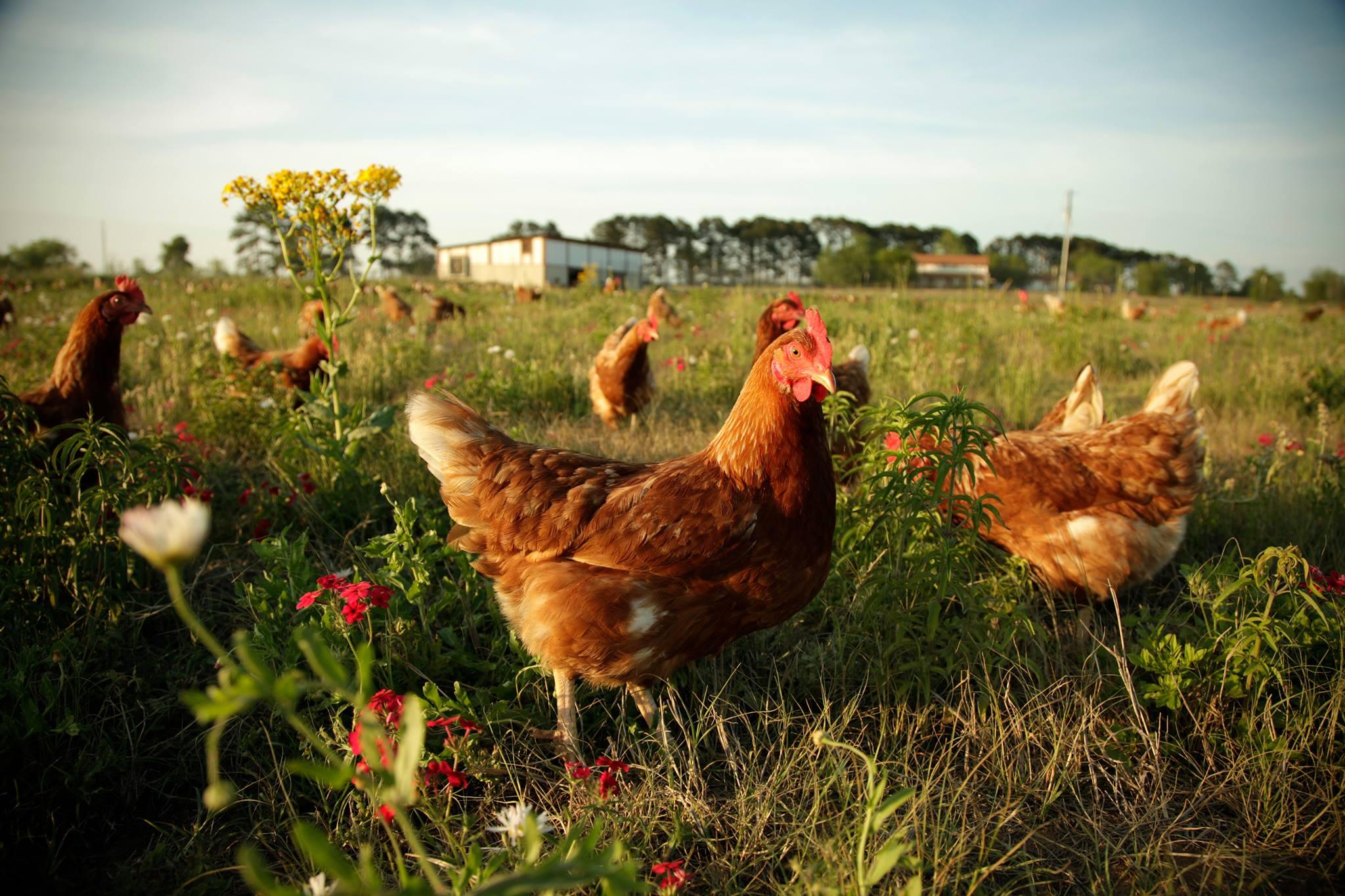 Happy chick farms 4.jpg