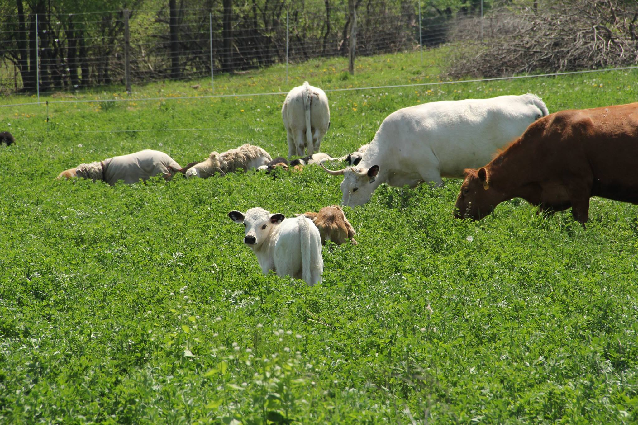 Develop a Forage Chain for Your Livestock   ,  May 30, 2018  Kent Solberg, Grazing and Livestock Specialist with the Sustainable Farming Association, will discusses how to the most of your livestock operation by sequencing a combination of annual, perennial, and stored forages to feed your ruminant animals.    Watch Recording    or    Download Slides