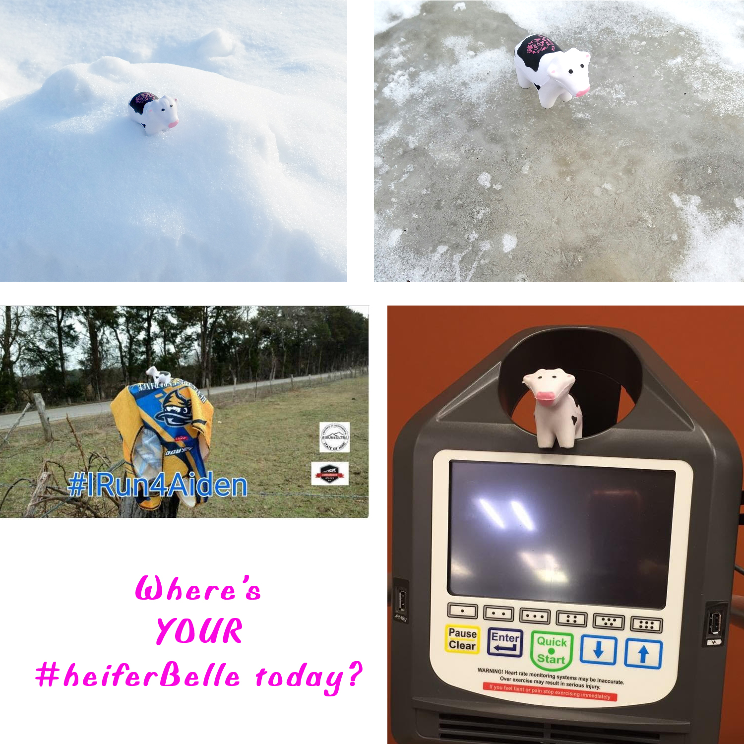 From ice to warm weather and inside t the gym, #heiferBelle is sure getting around!