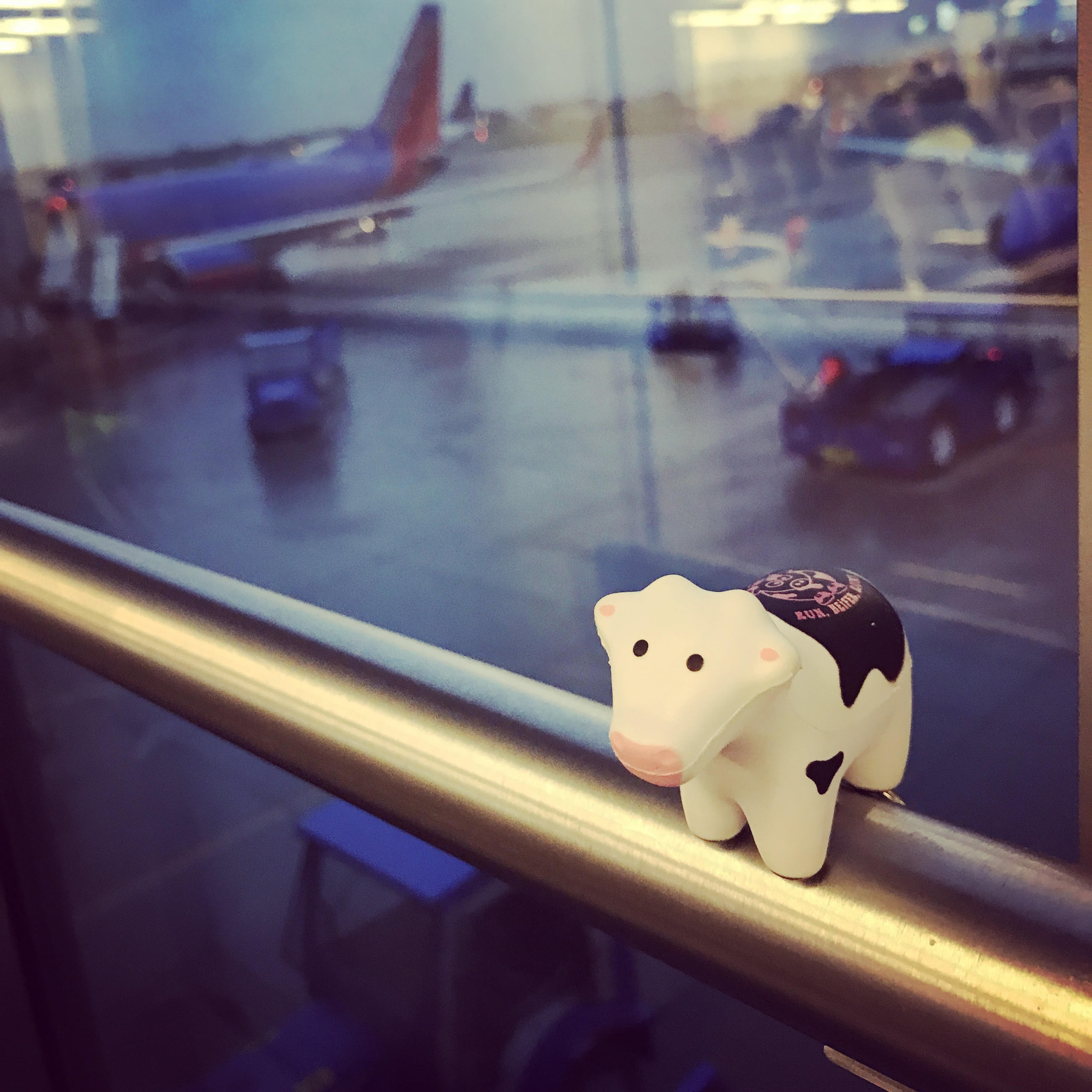 Have #heiferBelle, will travel...and FYI #heiferBelle flies SWA.