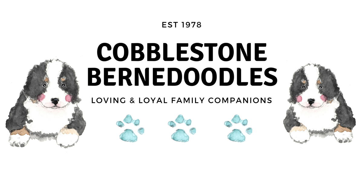 Cobblestone Bernedoodles Puppies