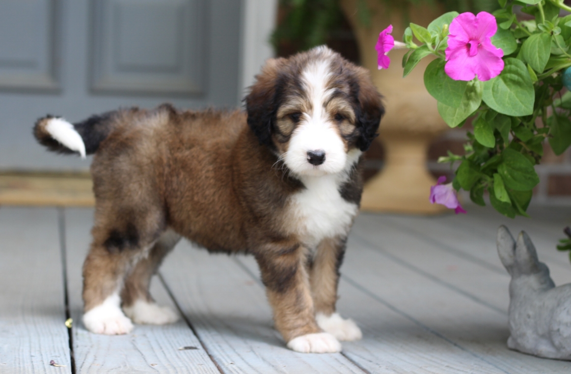 Available Puppies Cobblestone Bernedoodles