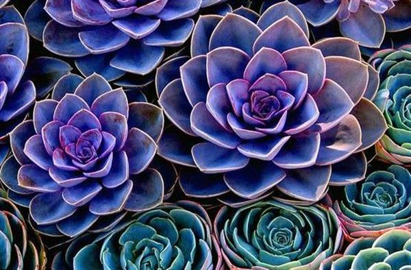 bluesucculent-goldenratio.jpg