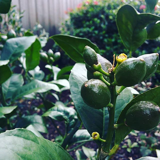 Ooooh, nice to see our G&T bush has begun to flourish! Bring on the NZ summer! . . . . #writer #writingroutine #writersofinstagram #authorsofinstagram #bookstagram #TheInBetween #summer #summertime