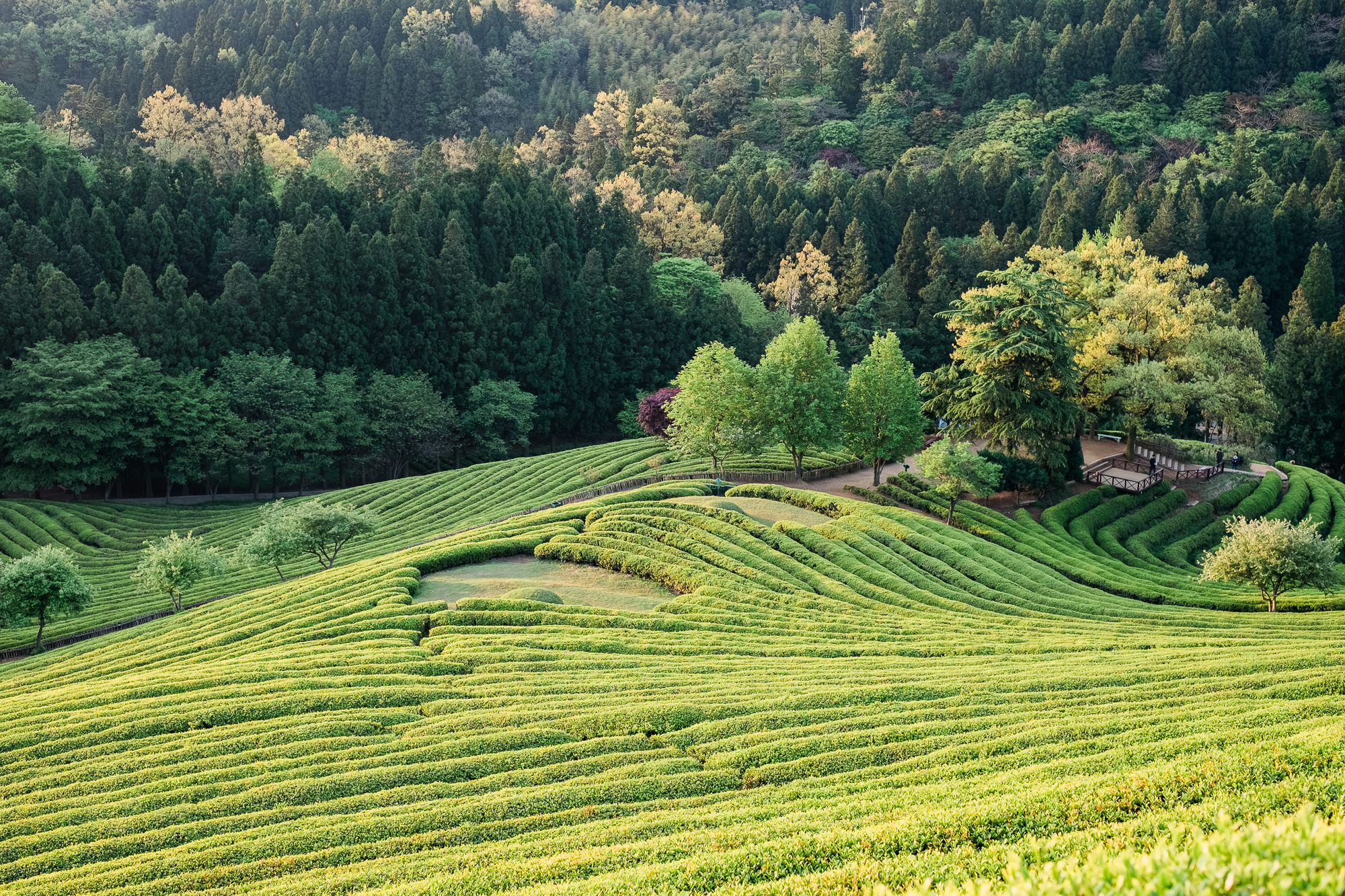 A beautiful sunrise overlooks the green tea fields in Boseong, South Korea.