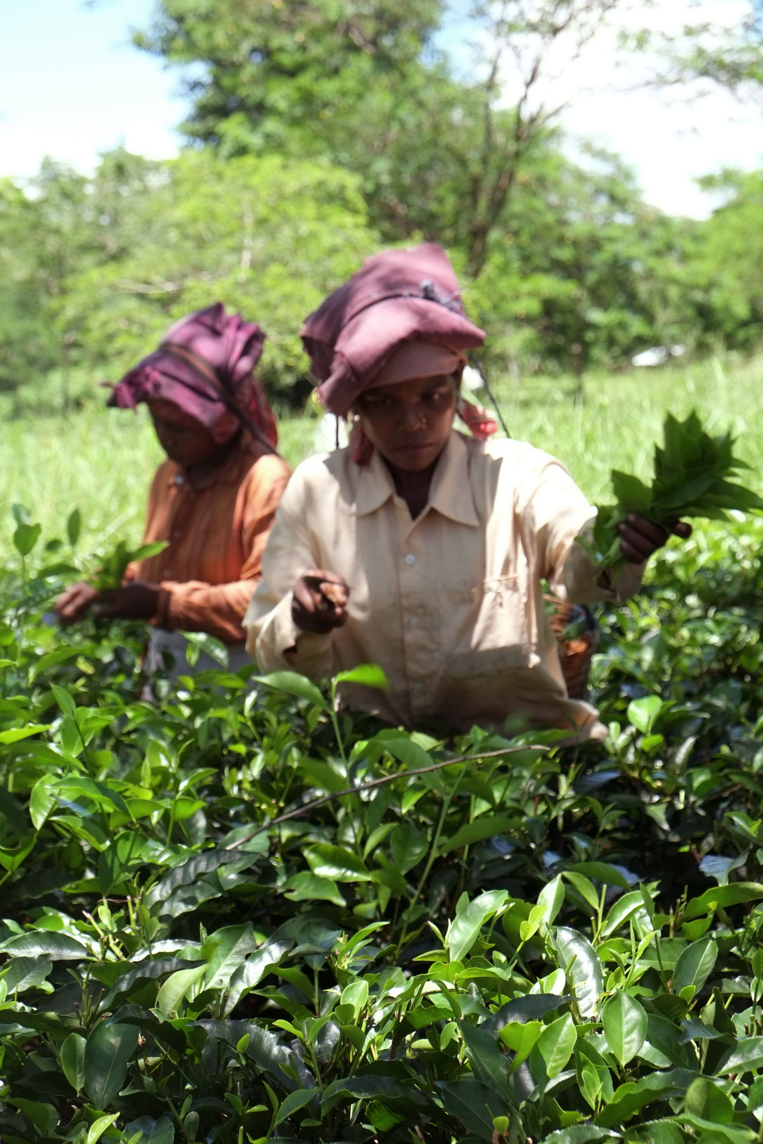 Lesly Lotha_Tea Garden_Assam_India_2016 - 03
