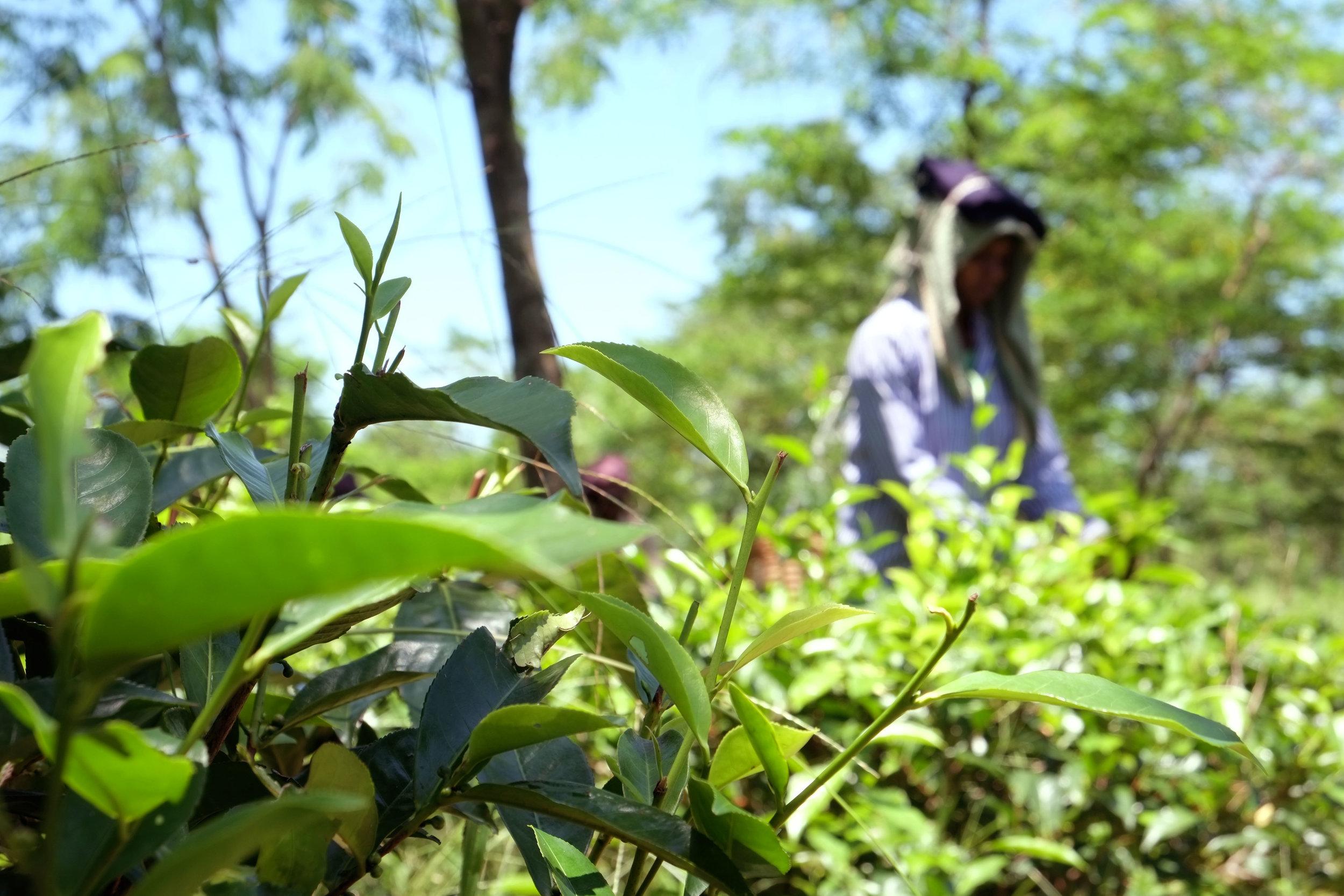 Lesly Lotha_Tea Garden_Assam_India_2016 - 04