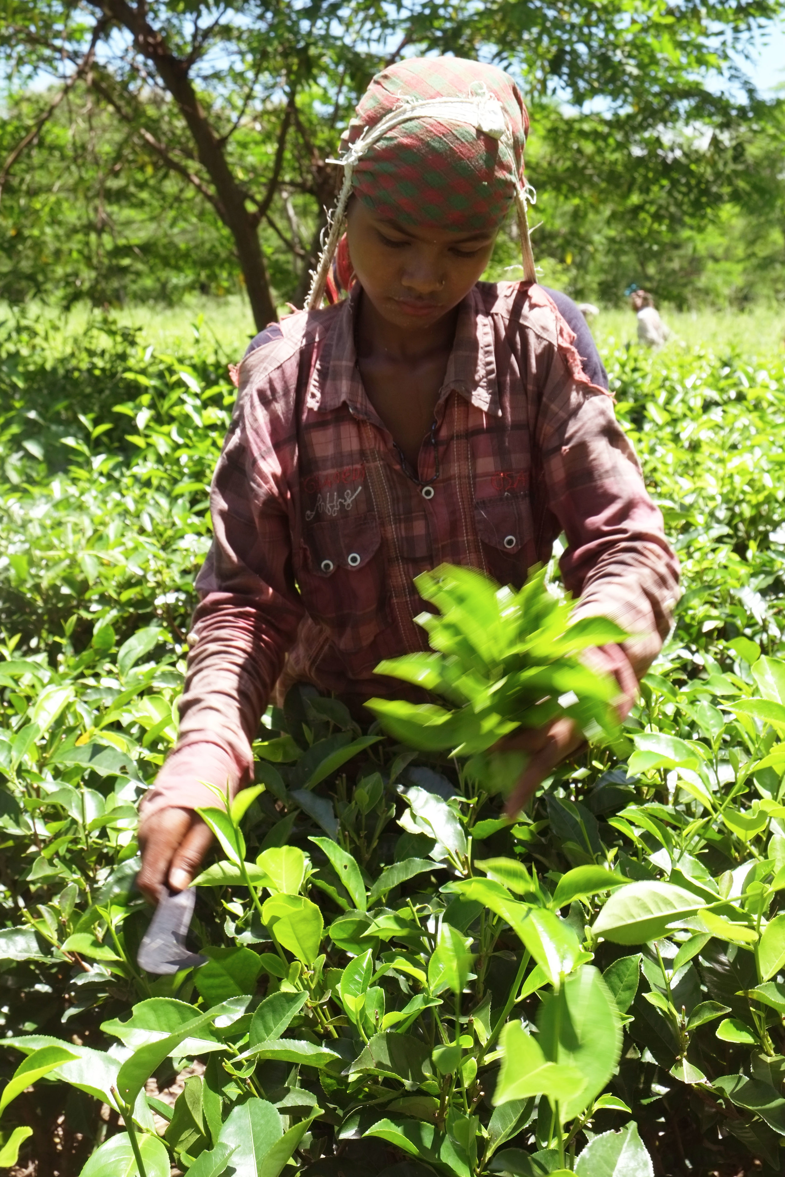 Lesly Lotha_Tea Garden_Assam_India_2016 - 06