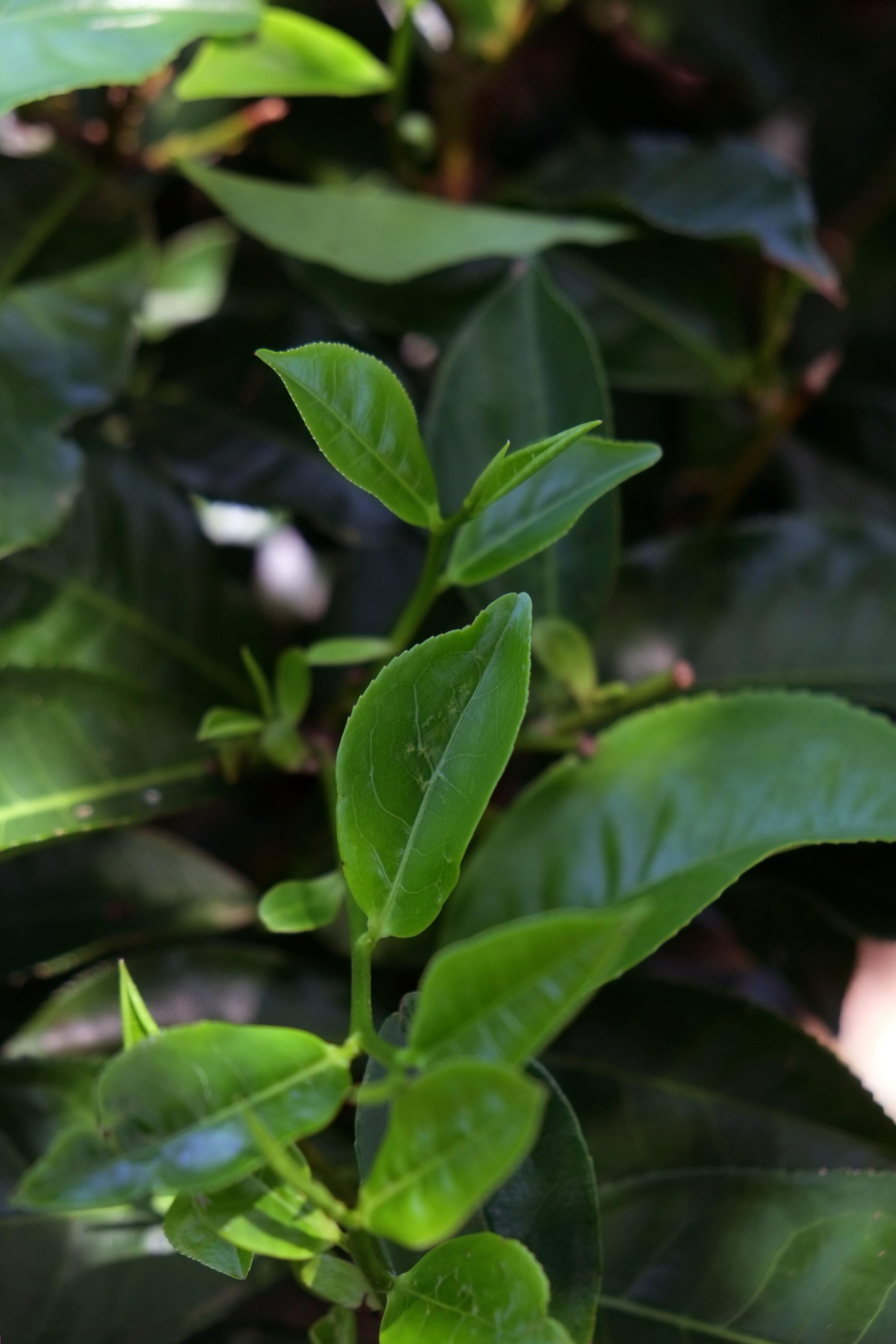 Lesly Lotha_Tea Garden_Assam_India_2016 - 07