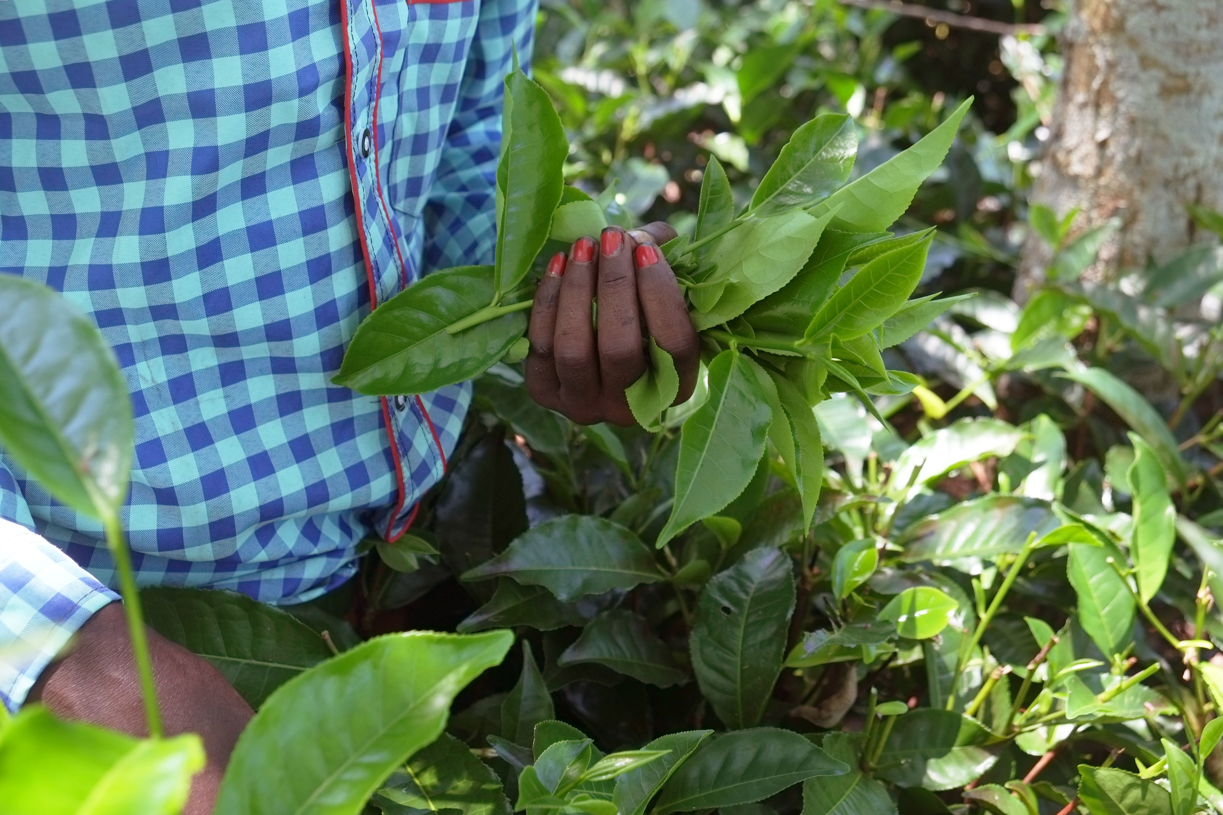 Lesly Lotha_Tea Garden_Assam_India_2016 - 08