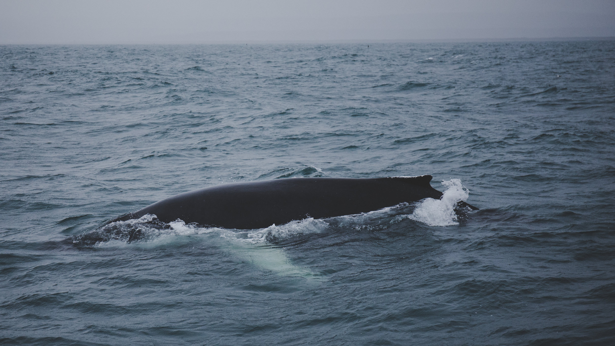 We saw this beast in a whale watching tour in Husavik.