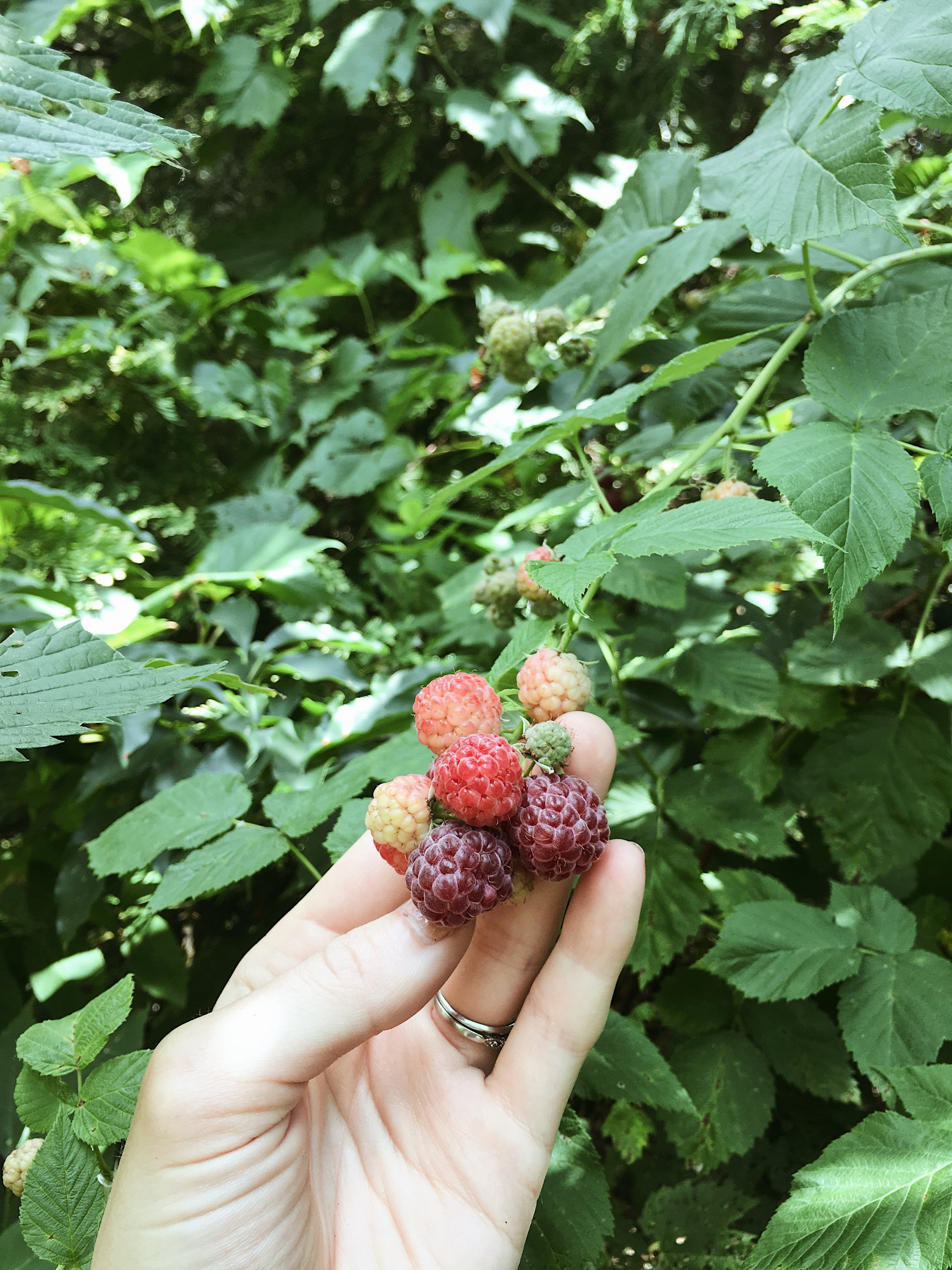 ONE VARIETY OF RASPBERRIES WE HAVE GROWING IN THE YARD. THESE WERE PLANTED BY THE PREVIOUS OWNERS AND WE'RE SO THANKFUL TO HAVE THEM! THEY'RE HUGE AND SO DELICIOUS.
