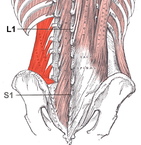 """Those Multifidi   The multifidi are important proprioceptive sentinels for the low back, as well as the rest of the body, for virtually every activity you do weight bearing, including gait. They are implicated in many instances of low back pain, especially folks with flexion or extension intolerance, since their fiber orientation and thus mechanical advantage (or disadvantage) is dependent upon whether or not you are maintaining a normal lumbar lordosis.    Modalities which boost their function are an excellent adjunct to the rehabilitation process. Since they are not under volitional control (go ahead, try and contract your L2/L3 multifidus), they are innervated by the vestibulospinal tract and we must use proprioceptive work to engage them. Dry Needling is one modality that can help them to become functional again.    RESULTS and CONCLUSION: """"Significant difference was found in the percentage of change of muscle activation post needling between groups on the right side at level L4-5. A slight increase in the percentage of muscle activity, post procedure was observed in the dry needling group compared with the control group, although not significant in other segments examined. An improvement of back muscle function following dry needling procedure in healthy individuals was found. This implies that dry needling might stimulate motor nerve fibers and as such increase muscle activity.""""    see also our post  here .    J Back Musculoskelet Rehabil. 2015 Sep 6. [Epub ahead of print] The immediate effect of dry needling on multifidus muscles' function in healthy individuals. Dar G1,2, Hicks GE3."""