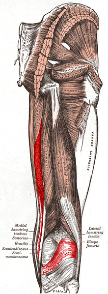 Its a great day to be a neuro geek    So if the receptors on the bottom of the foot aren't involved aren't involved in 2 joint muscles staying coordinated (like the hamstring and rectus femoris in this study), how do we determine the appropriate muscle length and ratios? How about our built in muscle length receptors? Lets hear it for muscle spindles! Hooray for Ia and type II afferents!   Sifting through the science so you don't have to. We are The Gait Guys…    Exp Brain Res.  1998 Jun;120(4):479-86.   Coordination of two-joint rectus femoris and hamstrings during the swing phase of human walking and running.    Prilutsky BI ,  Gregor RJ ,  Ryan MM .   Source   Department  of Health and Performance Sciences, Center for Human Movement Studies,  The Georgia Institute of Technology, Atlanta 30332-0110, USA.   Abstract   It  has been hypothesized previously that because a strong correlation was  found between the difference in electromyographic activity (EMG) of  rectus femoris (RF) and hamstrings (HA; EMG(RF)-EMG(HA)) and the  difference in the resultant moments at the knee and hip (Mk-Mh) during  exertion of external forces on the ground by the leg, input from skin  receptors of the foot may play an important role in the control of the  distribution of the resultant moments between the knee and hip by  modulating activation of the two-joint RF and HA. In the present study,  we examined the coordination of RF and HA during the swing phase of  walking and running at different speeds, where activity of foot  mechanoreceptors is not modulated by an external force. Four subjects  walked at speeds of 1.8 m/s and 2.7 m/s and ran at speeds of 2.7 m/s and  3.6 m/s on a motor-driven treadmill. Surface EMG of RF, semimembranosus  (SM), and long head of biceps femoris (BF) and coordinates of the four  leg joints were recorded. An inverse dynamics analysis was used to  calculate the resultant moments at the ankle, knee, and hip during the  swing phase. EMG signals were rectified