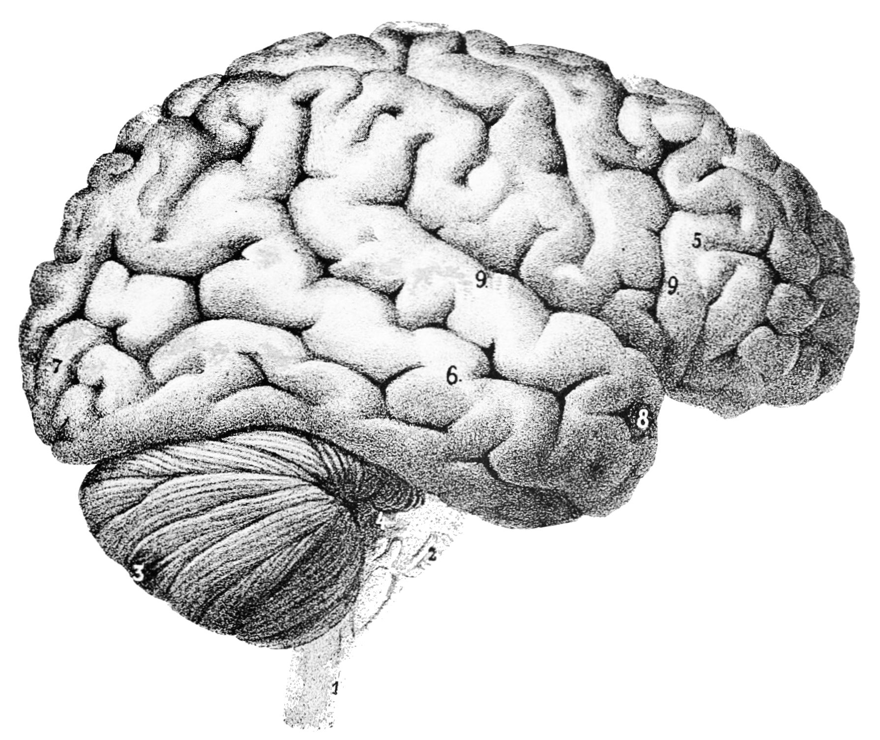 image credit: https://commons.wikimedia.org/wiki/File:PSM_V46_D167_Outer_surface_of_the_human_brain.jpg