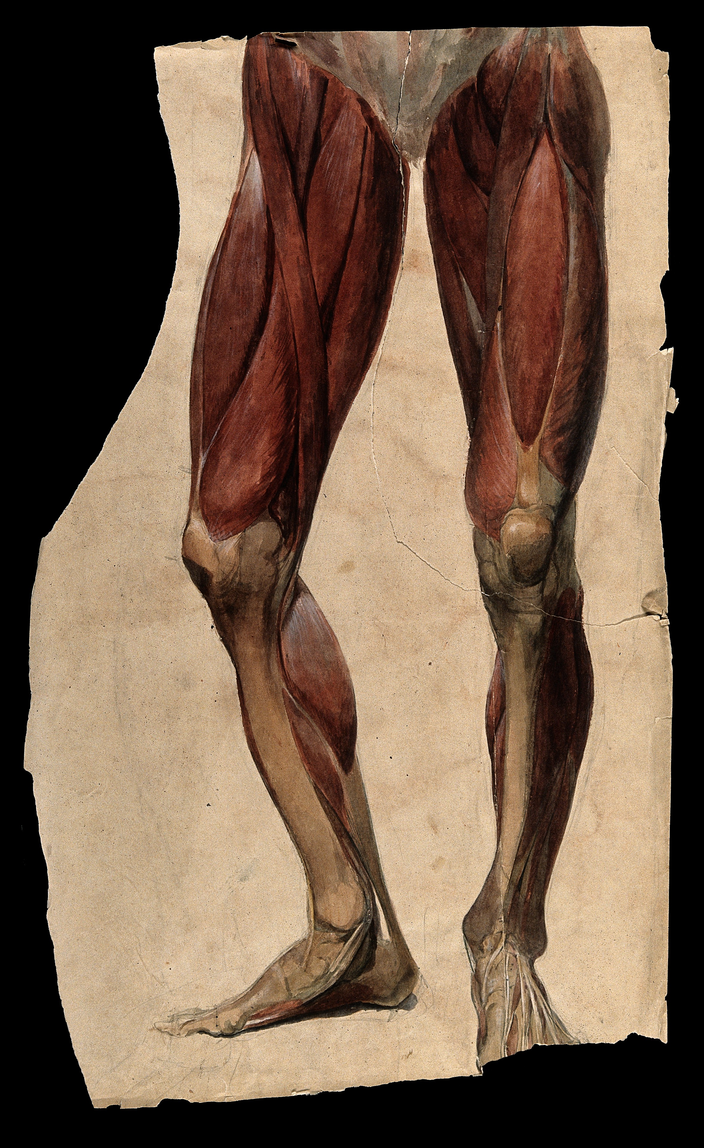 image source: https://commons.wikimedia.org/wiki/File:Muscles_and_tendons_of_the_legs_and_feet;_écorch_́figur_Wellcome_V0008276.jpg