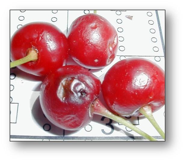 Cherry bugs.jpg