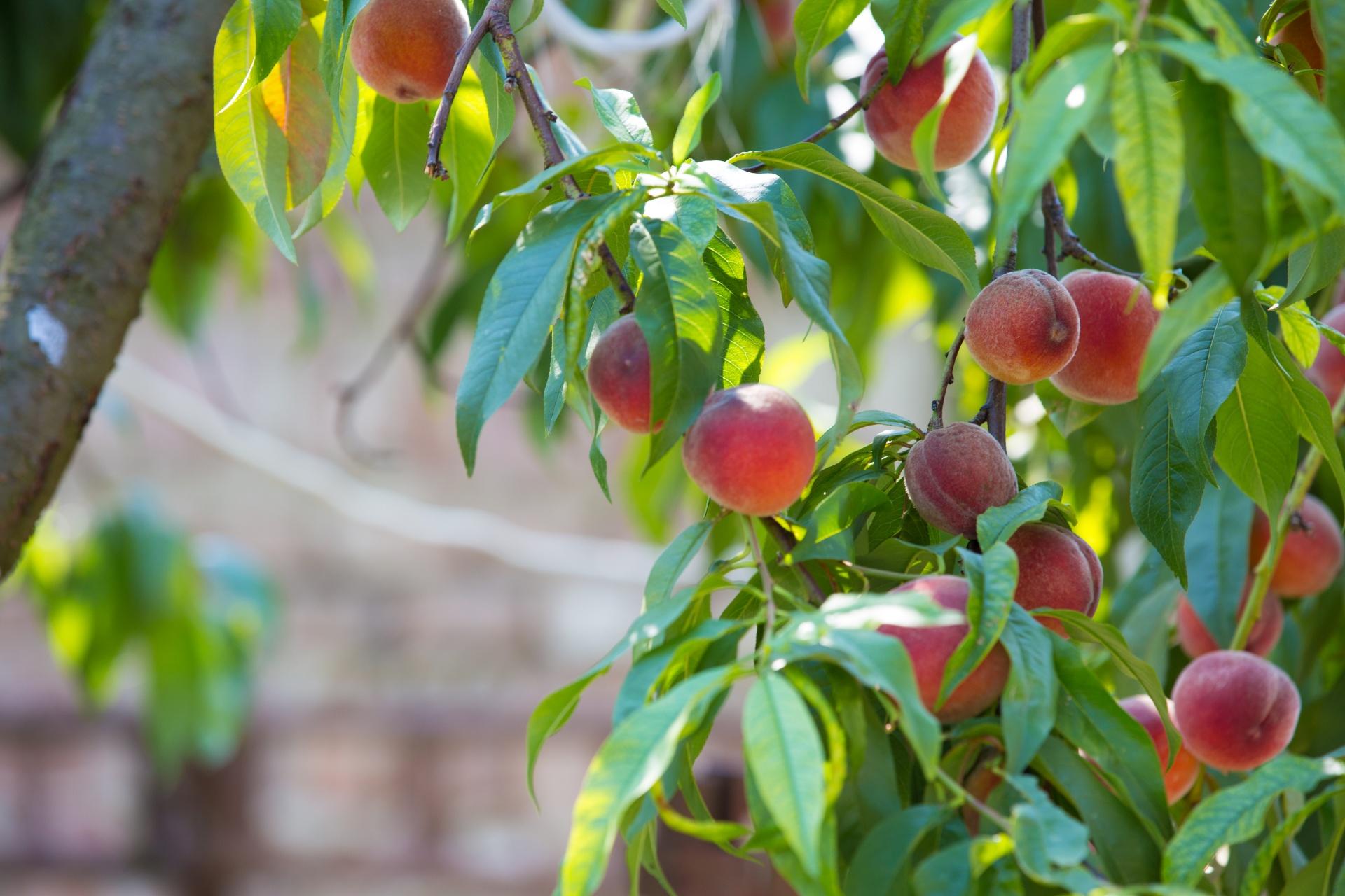 Organic Peaches.jpg