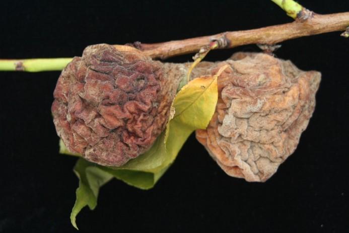 Brown Rot in Peaches.jpg