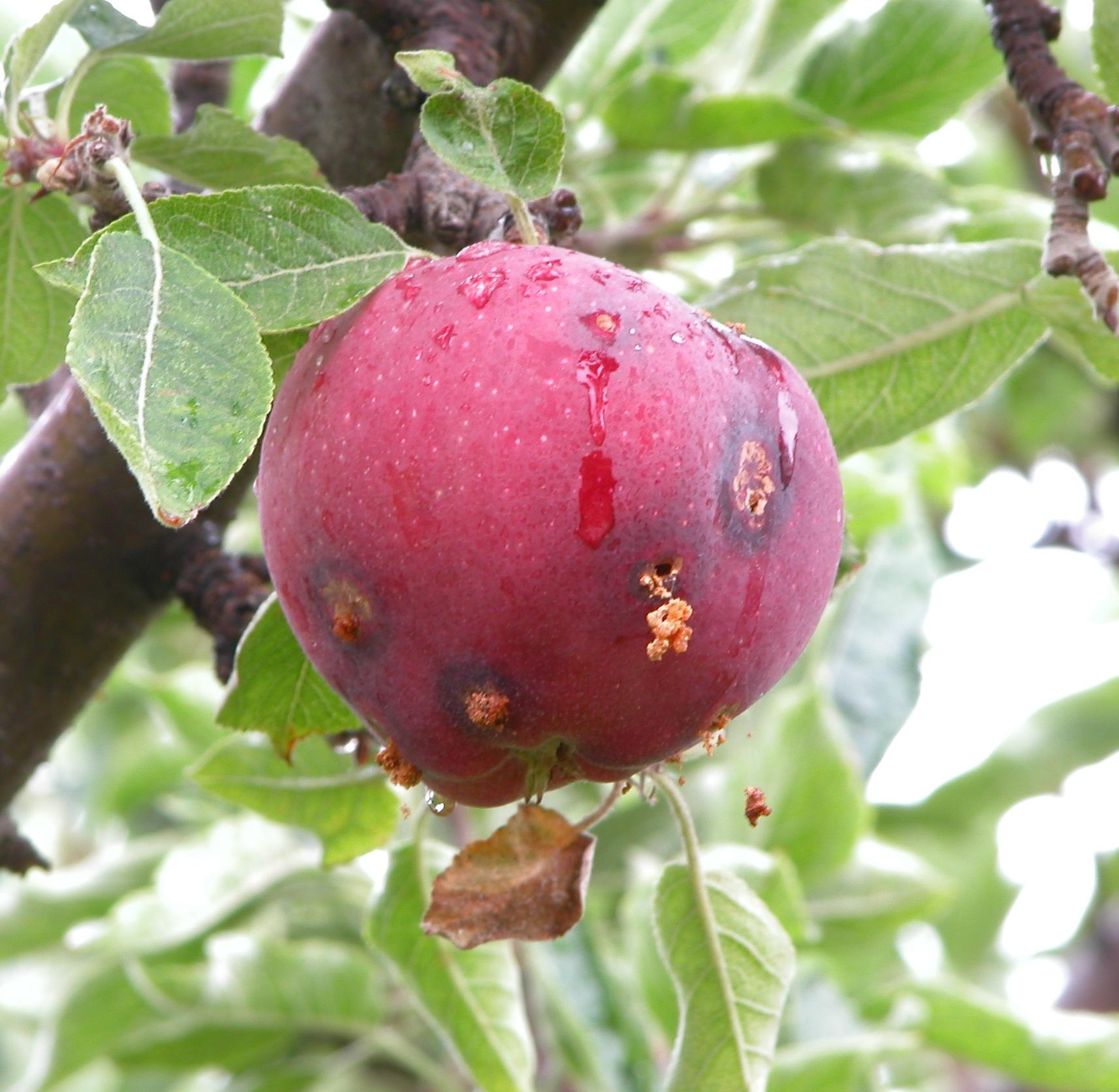 3-fruit pest.jpg