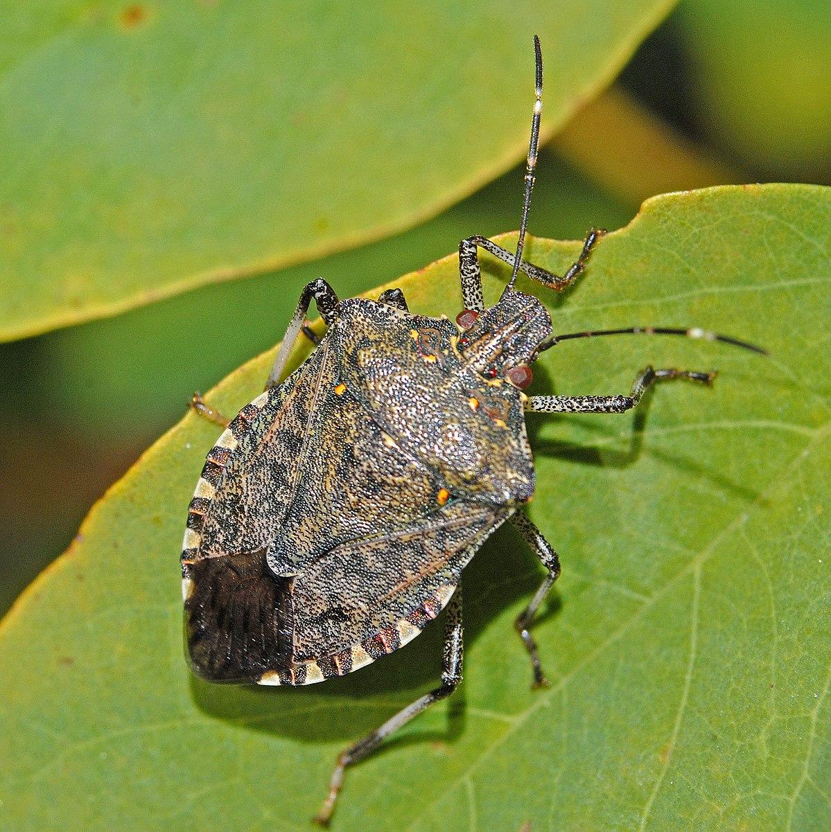 8-Stink bug.JPG