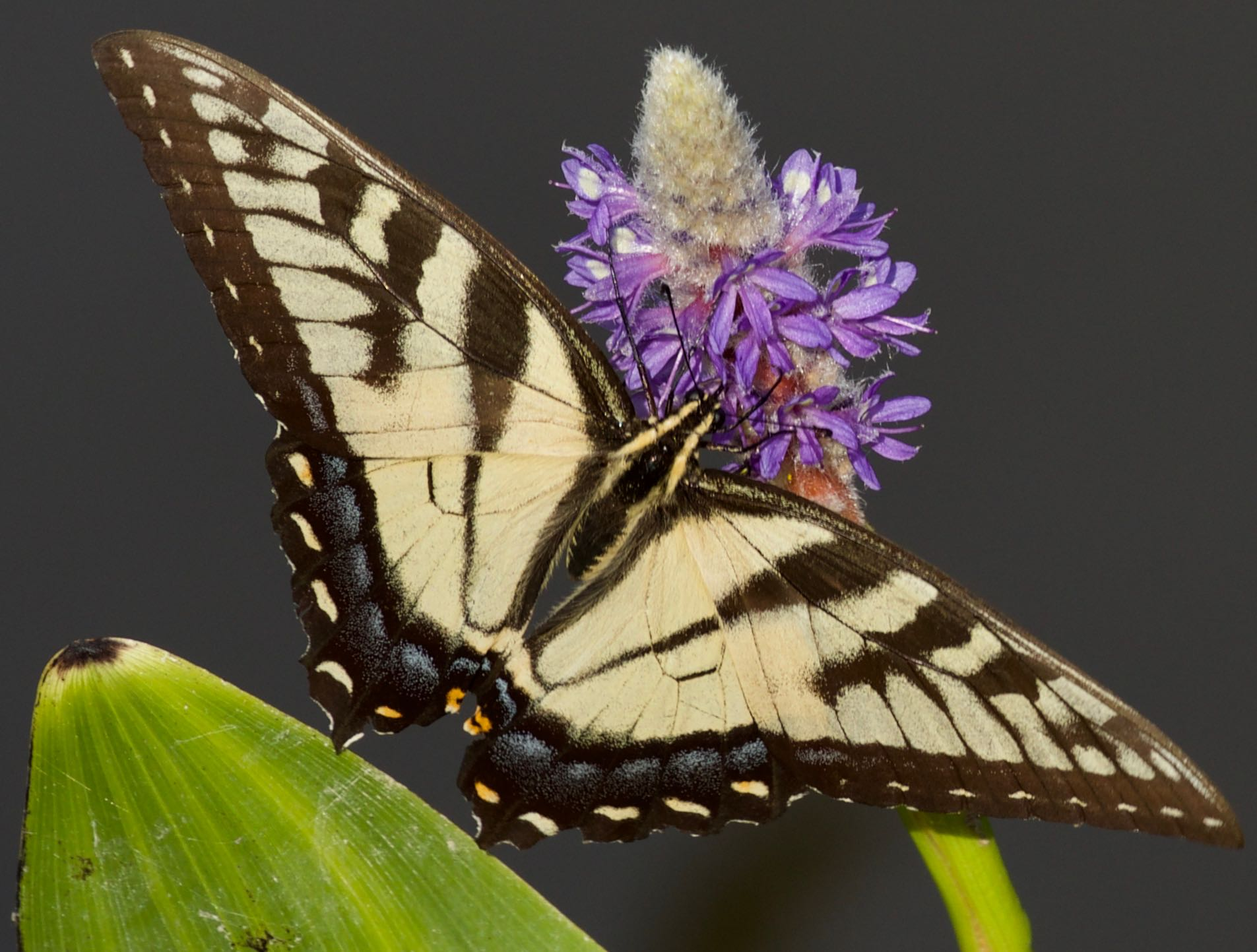 The Year of the Swallowtail
