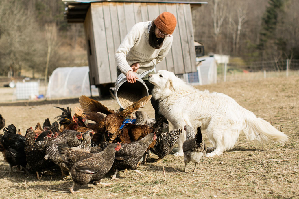 Farmer Christine out feeding the hens as Nola, our livestock guardian dog, smells the offering.