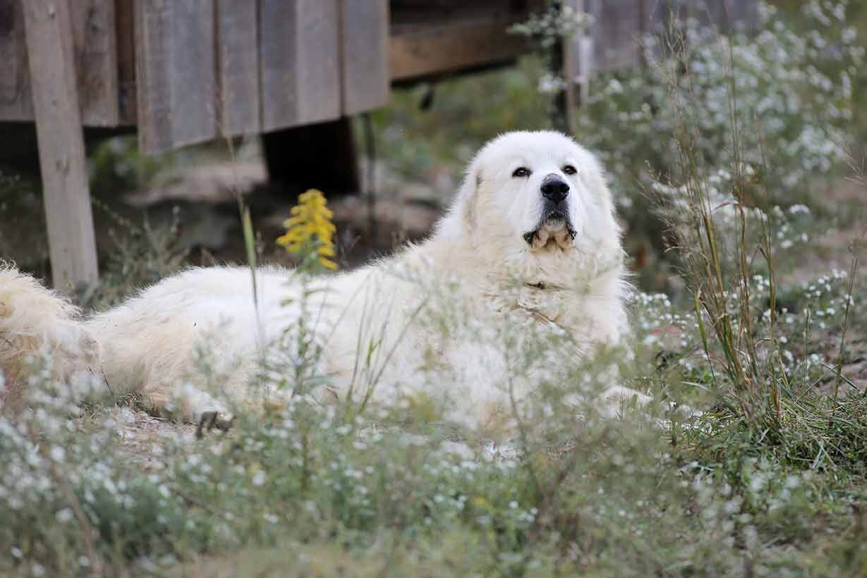 Ghost, our Great Pyrenees Sire.