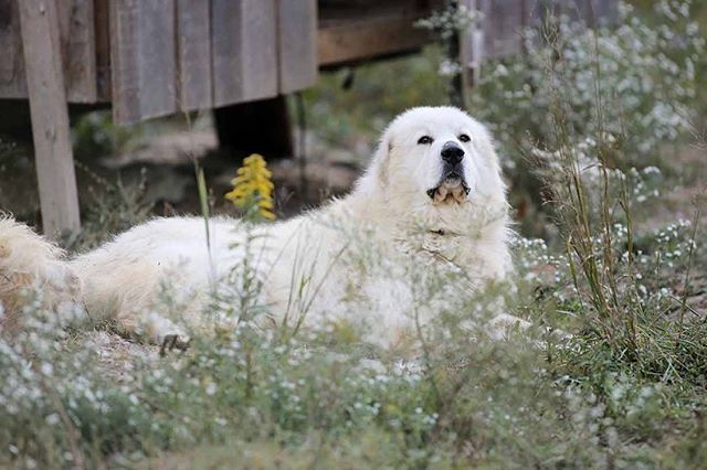 Here is Ghost, the sire to our puppies. These photos were taken right before we realized Nola had her puppies. #greatpyrenees #fayettevillewv #deepmountainfarm