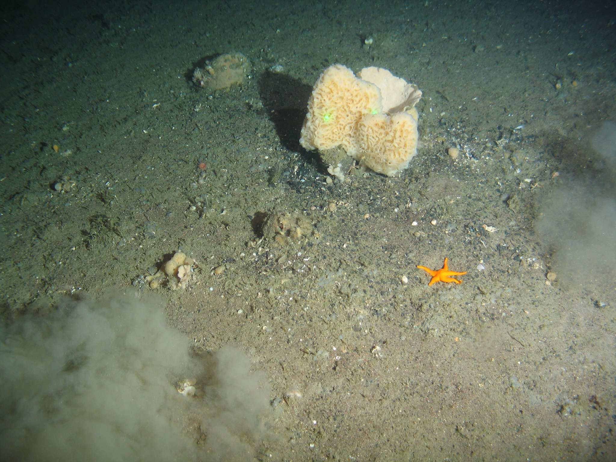 Savante Subsea and Underwater Laser - Aquantum Laser Module used to image scale a sample of coral