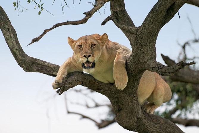 Lionne dans arbre Singita Lebombo & Singita Sweni